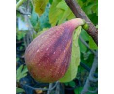 BCM Obstbaum Feige Gustissimo Twotimer grün Obst Pflanzen Garten Balkon