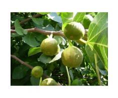 Feigenbaum »Pfälzer Fruchtfeige«, selbstfruchtend, mehrjährig, 40 bis 60 cm Lieferhöhe