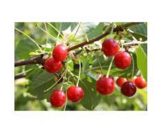 Sauerkirsche »Achat«, Obstbaum, wurzelecht, winterhart, mehrjährig, selbstfruchtbar
