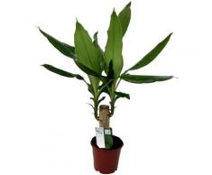 Dominik Zimmerpflanze »Drazena«, Höhe: 30 cm, 1 Pflanze