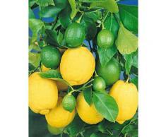 BCM Zitronenbaum