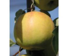 BCM Apfelbaum »Bella Bionda Patrizia«, 150 cm Lieferhöhe