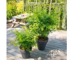Fächerahorn Going Green®, im ca. 15 cm-Topf