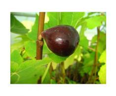 Feige »Noire de Bellon«, Obstbaum, selbstfruchtend, gut geeignet für Kübelbepflanzung
