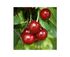 Sauerkirsche »Jade«, Obstbaum, wurzelecht, winterhart, mehrjährig, selbstfruchtbar