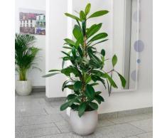 Afrikanischer Feigenbaum, im ca. 21 cm-Topf