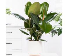 Premium Feigenbaum, im ca. 27 cm-Topf