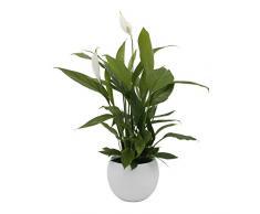 Dominik Blumen und Pflanzen, Spathiphyllum im Topf Cresto Weiß Zimmerpflanze, Grün, 40 x 20 x 20 cm
