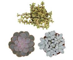 Pasiora Sukkulenten Mix im 12cm Topf, verschiedene große Pflanzen, Geschenkset (3 Stück)