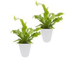 Dominik Blumen und Pflanzen, Zimmerpflanzen Nestfarn Asplenium nidus, 2 Pflanzen, circa 15 cm hoch, 13 cm Topf und weißem Dekotopf