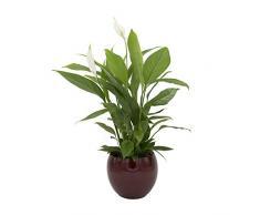 Dominik Blumen und Pflanzen, Spathiphyllum im Topf Cresto Rot Zimmerpflanze, Grün, 40 x 20 x 20 cm