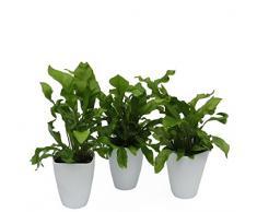 Dominik Blumen und Pflanzen, Zimmerpflanzen Nestfarn Asplenium nidus, 3 Pflanzen, circa 15 cm hoch, 13 cm Topf und Dekotopf, weiß / grün