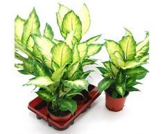 Dieffenbachia Tropic, 12 cm Topf, 30 - 40 cm hoch, 3 Pflanzen, Zimmerpflanzen
