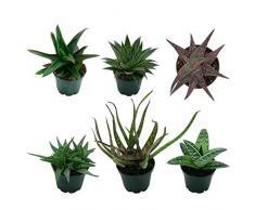 Pasiora Aloe- Mix im 6cm Topf, verschiedene kleine Pflanzen, Geschenkset (6 Stück)