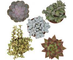 Pasiora Sukkulenten Mix im 12cm Topf, verschiedene große Pflanzen, Geschenkset (5 Stück)