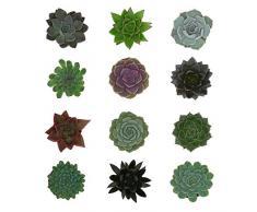Pasiora Echeveria Mix im 6cm Topf, verschiedene kleine Pflanzen, Rosetten Geschenkset (12 Stück)