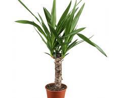 Dominik Blumen und Pflanzen, Yucca - Palme, Palm - Lilie, Yucca elephantipes, 11 cm Topf, 30 - 50 cm hoch, Zimmerpflanzen, Kübelpflanzen